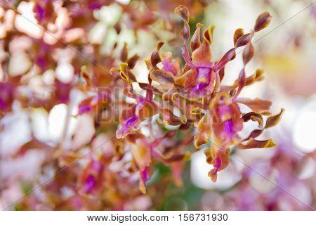Dendrobium Memoria Loo Sing Chew Orchid.