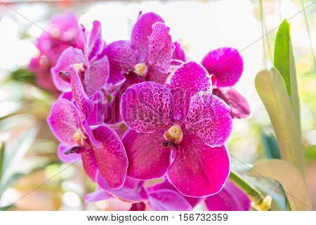 Pink Vanda Orchid.