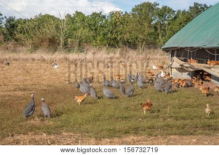 Flock Of Guinea Fowl Roaming Freely In A Lush Green Paddock Of An Organic Breeding