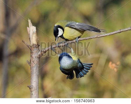 Great Tit (Parus major) and Blue Tit (Parus caeruleus) conflicting in autumn