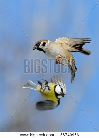 Flying Eurasian Tree Sparrow (Passer montanus) and Blue Tit (Parus caeruleus) in autumn. Moscow region Russia