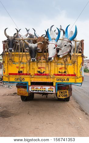 Dindigul India - October 23 2013: Five buffaloes stick their heads out of the back of a yellow truck parked along the road. Painted horns. Black brown and white animals. Light blue sky.
