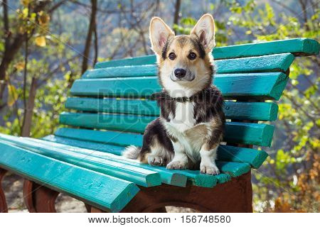 Welsh Corgi sits on the bench. Pembroke welsh corgi in autumn park.