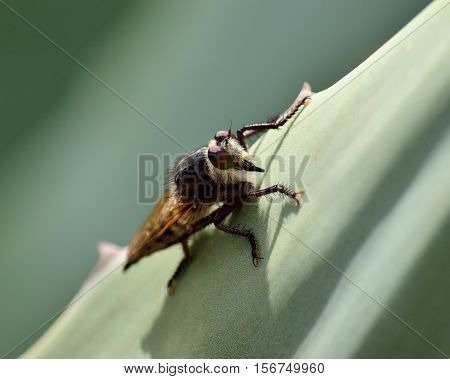 Isolated robber fly, on leaf of agave