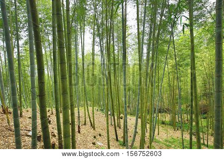 Beautiful landscape of moso bamboo forest in autumn