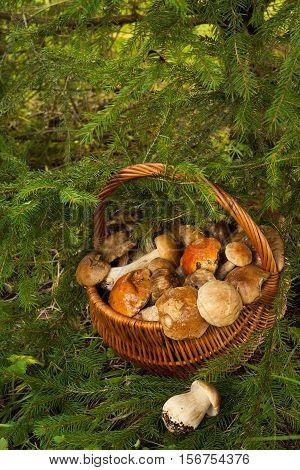 Wicker Basket With Fresh Edible Mushrooms Near fir-tree In Forest, Top View. Mushroom Boletus Edulis (Porcini).