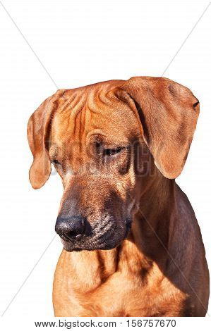 Sad dog eyes. Portrait of a dog. Place for your text. Rhodesian Ridgeback isolated on white.