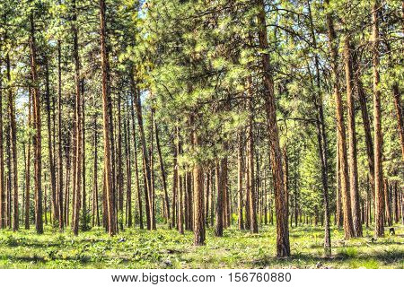 Flat dense red pine forest with thin tree trunks