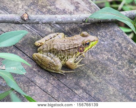Large green toad frog sitting on wooden bench
