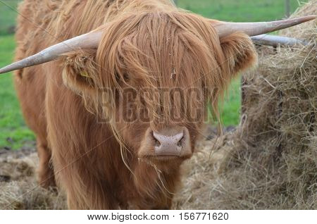 Shaggy Highland cattle beside a pile of hay in Scotland.