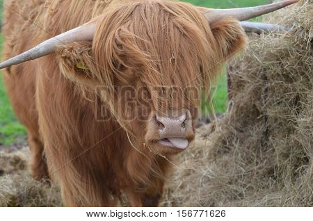 Silly Highland cattle sticking his tongue out making a funny face.