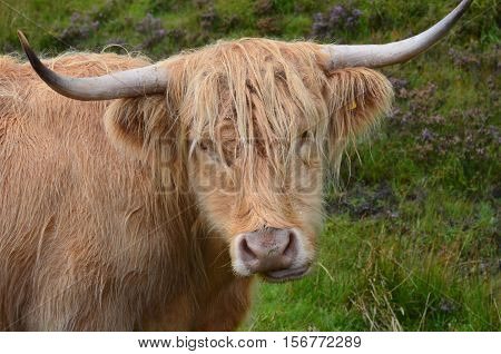 Really cute Highland cattle chewing on a grass.