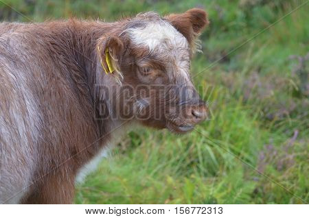 Adorable Highland calf standing in a Scottish field.