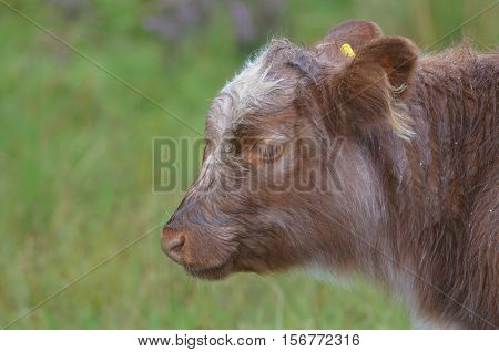 Really cute Highland calf in a field in the Highlands of Scotland.