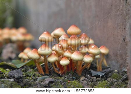 Sulphur Tuft mushrooms. Pack of yellow fungi