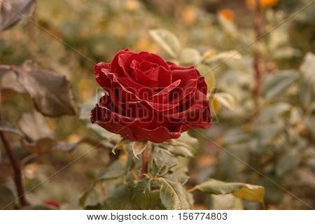 Deep red rose in autumn garden. Lonely rose flower dying in fall, a lot of space for text. Selective focus. Vintage color. Wilted roses in autumn garden. Red roses is dying blooming season is over