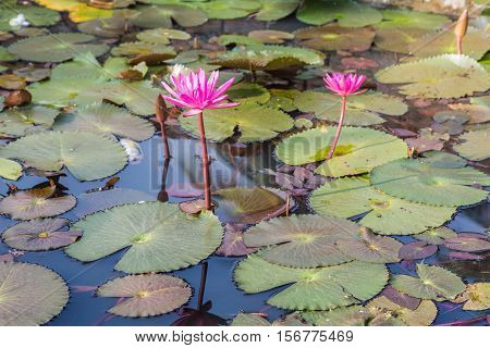 White lotus flower (lotus pointed white) bloomed in the waters of a pond. The white lotus differs from the pink in the formation of the petals which are more elongated and pointed.