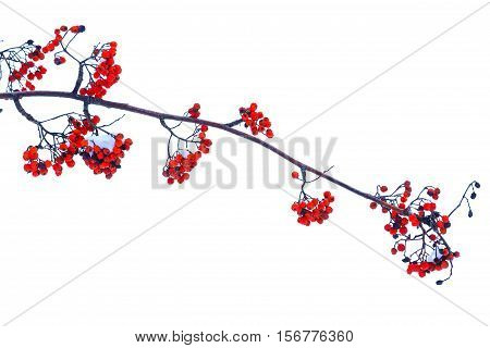 Sorbus branch with red berries on a white background, berries, trees, isolated object