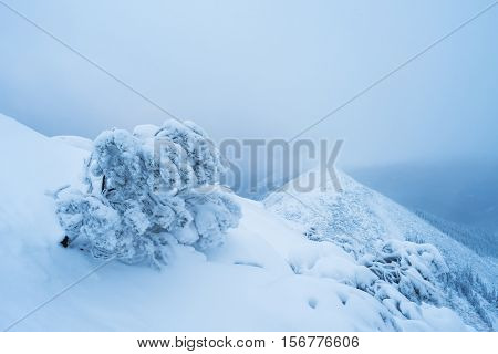 Harsh winter landscape. Fog in the mountains. Pine bush in hoarfrost on the crest of the ridge. Cloudy day and bad weather.
