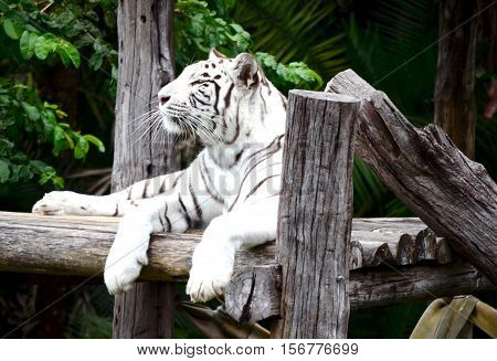 Tiger take a rest lying on logs