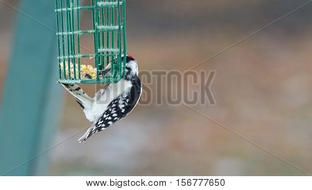 Downy woodpecker - Picoides pubescens -  marked with red crown white spotted feathers on wing, can be seen throughout most of North America.