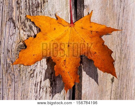 bright orange with a red maple leaf on the background of the wooden planks of gray with brown colors, sunny autumn day in October, a beautiful day, a maple leaf, one, close-up