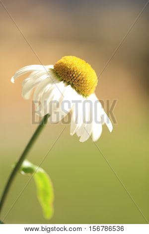 A beautiful single yellow and white flower on a blurred green background.