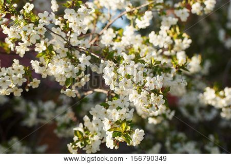 Cherry blossoms in spring. Close-up of cherry flowers.