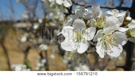 Close up of white flowers of the apple tree.