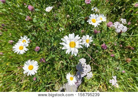 Camomile and meadow flowers in grass, violet flowers