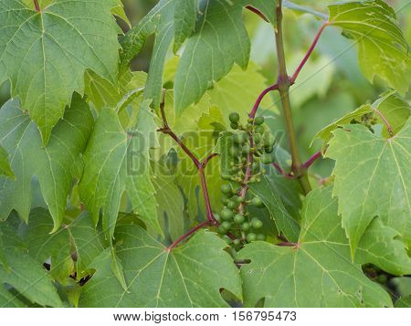 young grapevine with leaves - Vitis vinifera, close up nature photo