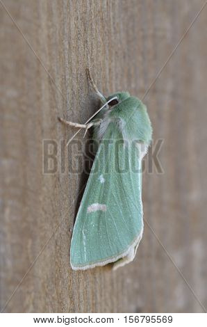 Burren Green - Calamia tridens, close up nature photo