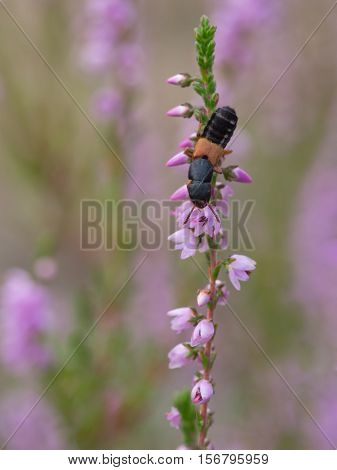 Rove Beetle - Platydracus stercorarius, close up nature photo