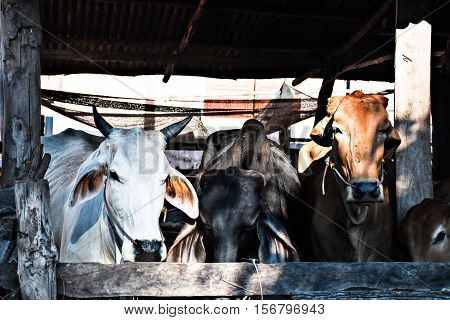 Many cows in a corral in the countryside Thailand.