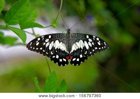 A butterfly with white black and red markings with a green foliage background.
