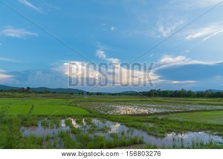 Thailand Grow rice in the rainy season cloud obscured the sun in the afternoon