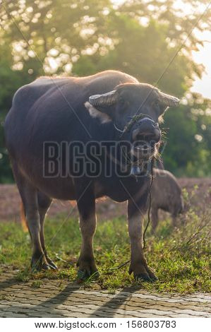 Smile of Thai Buffalo. Evening landscape in countryside of Thailand.