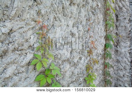 Surface of impromptu concrete wall. Climbed plant lifting up on rough wall