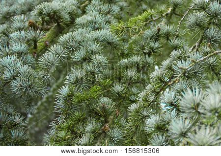 The needles on fir for background and texture