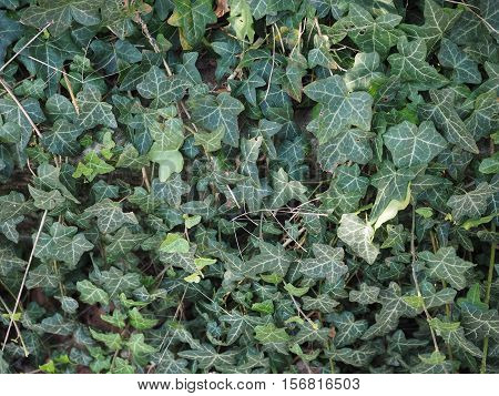 Green Ivy (Hedera) plant leaves useful as a background