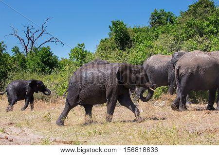 Botswana, Chobe National Park. Herd of African elephants at the watering. Big elephant poured himself liquid sludge.  The concept of exotic and active tourism