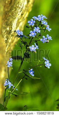 Blue forget-me-not flowers ( Myosotis sylvatica) flora