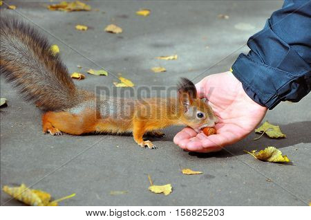 Squirrel eating nuts from man hand and autumn leaves on background wild nature animal thematic