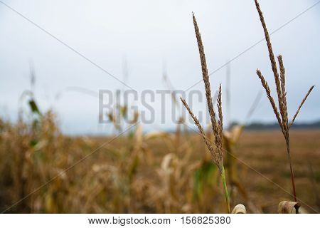 Two apex of corn stems on the blurred background. Corn field in a autumn day.
