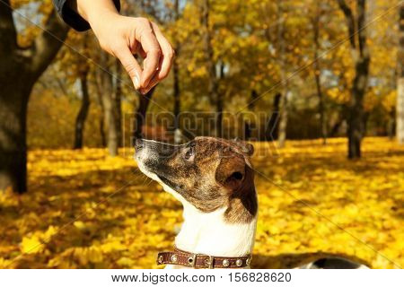 Owner training Jack Russell terrier in autumn park, close up