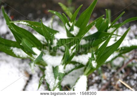 Snow On Grass Growing Up In Spring Time