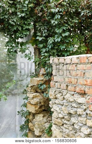 Beautiful green virginia creeper near brick wall