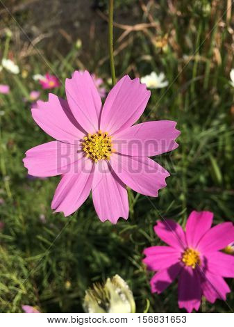 Cosmos flowers blooming on the roadside in early winter