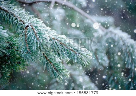 The frozen droplets of ice on pine needles. Macro photo, shallow depth of field. Winter forest.