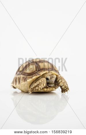 African Spurred Tortoise (Geochelone sulcata) isolated on white background.